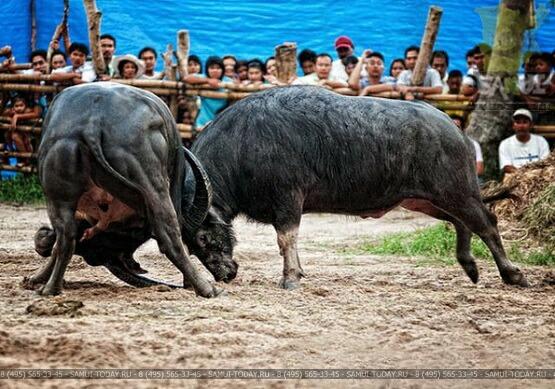 Бои быков