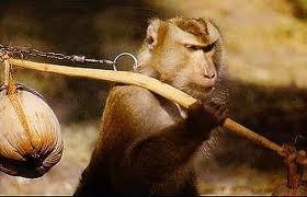 Шоу обезьян на Самуи